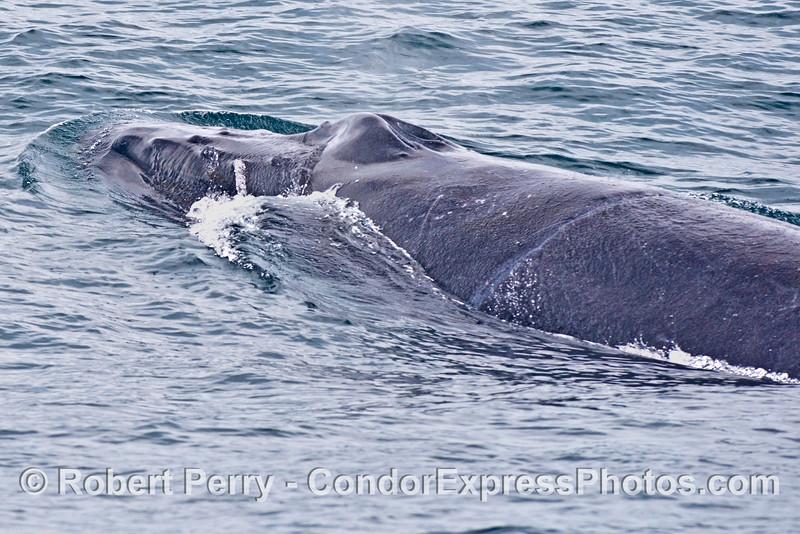"""Rope"" humpback whale (<em>Megaptera novaeangliae</em>) shows us her circumferential scar."