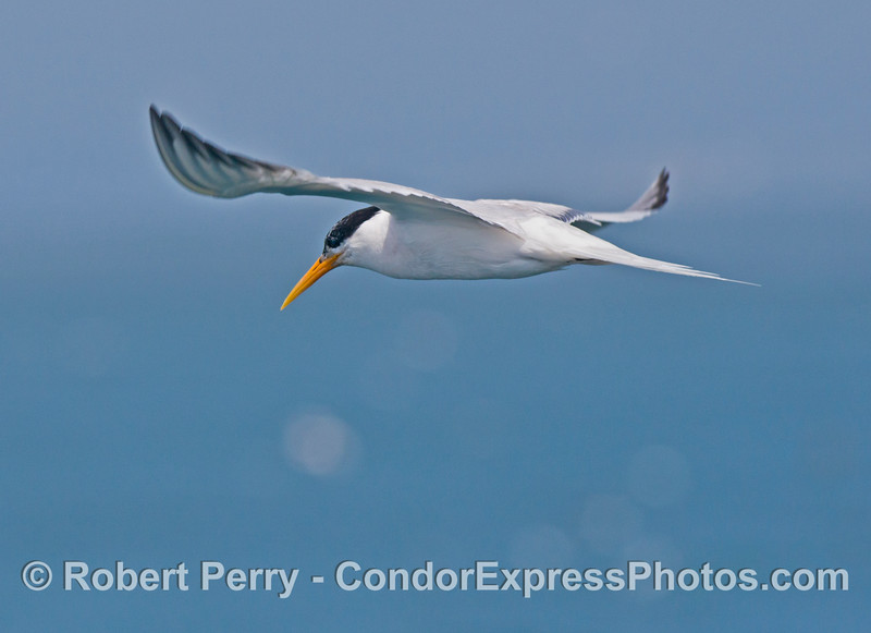 An elegant tern (<em>Sterna elegans</em>) seen in flight.