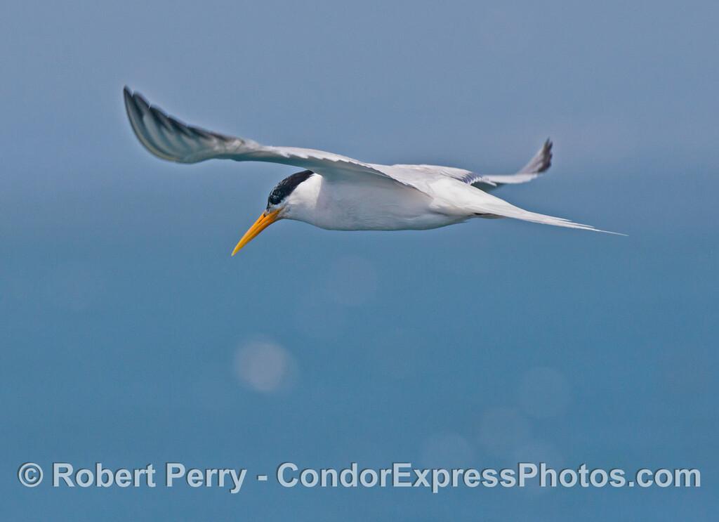 An elegant tern (<em>Sterna elegans</em>) seen in flight.