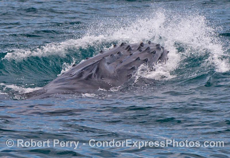 A humpback whale (<em>Megaptera novaeangliae</em>) slams its chin down on the water.
