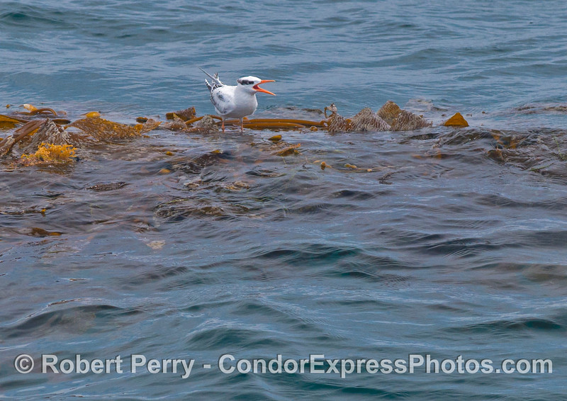 An elegant tern (<em>Sterna elegans</em>) rests on a drifting paddy of giant kelp (<em>Macrocystis pyrifera</em>).