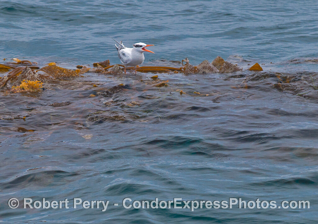 An elegant tern (<em>Sterna elegans</em>) rests on a drifting paddy of giant kelp (<em>Macrocystis pyrifera</em>).