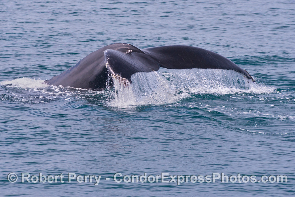 Tail flukes waterfall - a humpback whale (<em>Megaptera novaeangliae</em>).