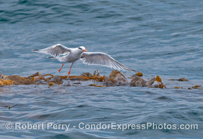 An elegant tern (<em>Sterna elegans</em>) takes flight from a drifting paddy of giant kelp (<em>Macrocystis pyrifera</em>).