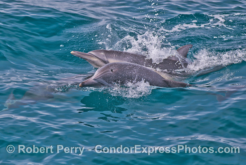 Another look at common dolphin (<em>Delphinus capensis</em>) antics.