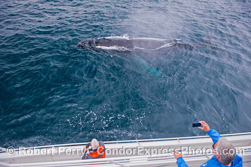 A very friendlyhumpback whale (<em>Megaptera novaeangliae</em>).