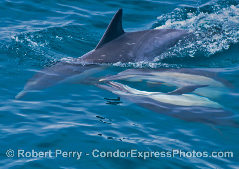 As one common dolphin (<em>Delphinus capensis</em>) dives, two more dolphins are seen mating underwater.  The male is on the bottom of the stack with its mouth open.