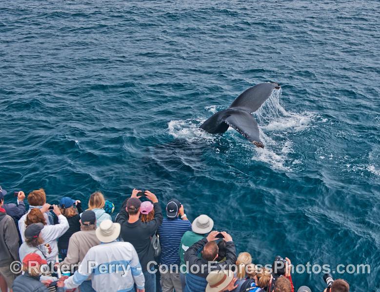 A friendly humpback whale (<em>Megaptera novaeangliae</em>) flukes up right next to the Condor Express.