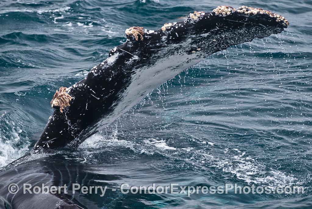 A very friendly humpback whale (<em>Megaptera novaeangliae</em>) waves its splendid, long pectoral fin.