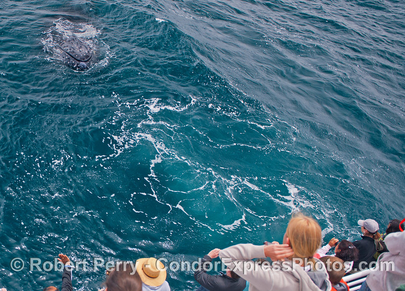 The knobby head of a very friendly humpback whale (<em>Megaptera novaeangliae</em>).