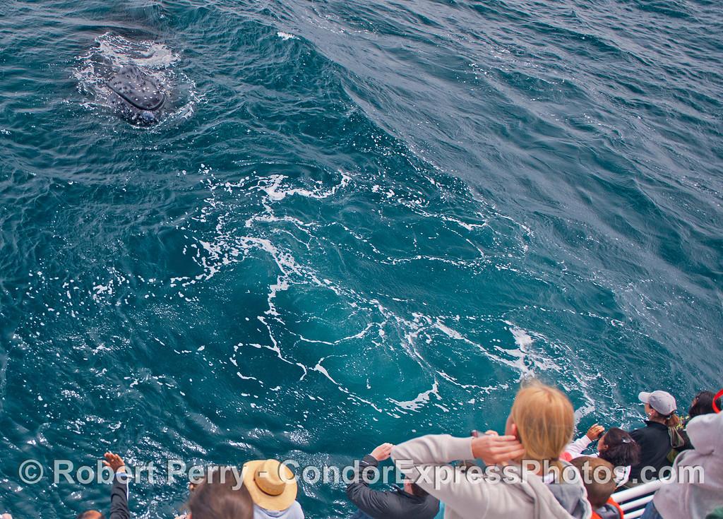 The knobby head of a very friendly humpback whale (<em>Megaptera novaeangliae</em>).