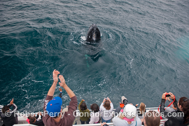 Another round of applause for this friendly and spy hopping humpback whale (<em>Megaptera novaeangliae</em>) !