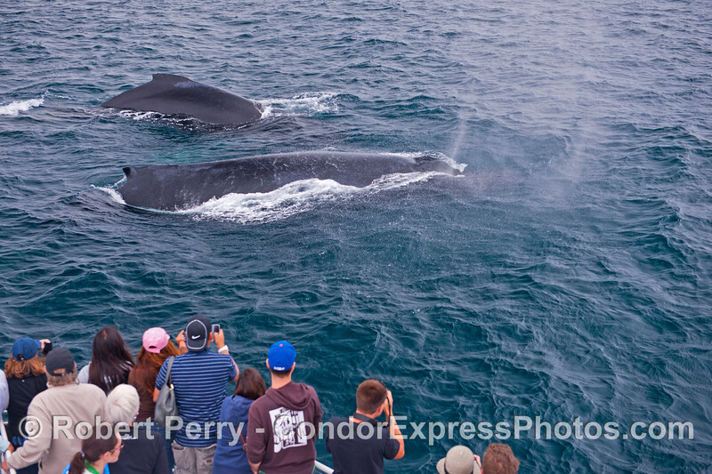 "Humans on the Condor Express get a ""two for the price of one"" very friendly approach by a pair of humpback whales (<em>Megaptera novaeangliae</em>)."
