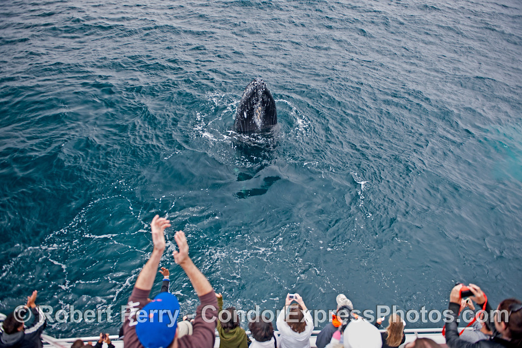 More and more applause for this spyhopping friendly humpback whale (<em>Megaptera novaeangliae</em>).