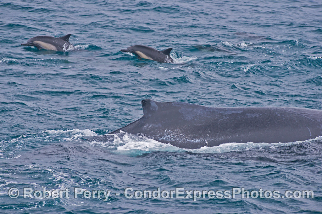 The dorsal fin of a humpback whale (<em>Megaptera novaeangliae</em>) and two common dolphins (<em>Delphinus capensis</em>) in the background.