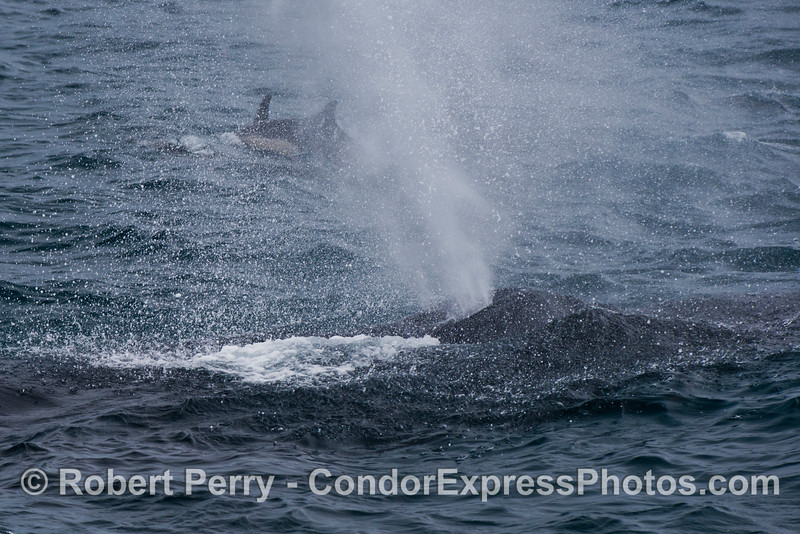 Dolphins in the mist.  Two humpback whales (<em>Megaptera novaeangliae</em>) enjoy the rain.