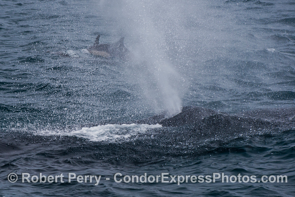 Dolphins in the mist.  Two humpback whales (<em>Megaptera novaeangliae</em>) enjoy the rain.