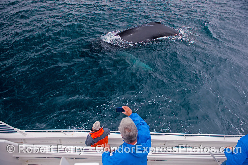 Grab your camera!  A friendly humpback whale (<em>Megaptera novaeangliae</em>) with long white pectoral fins examines the Condor Express quite closely.