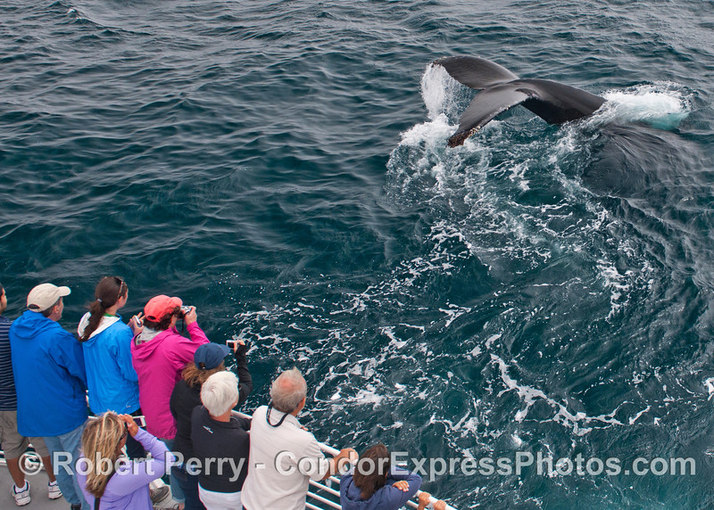 This humpback whale (<em>Megaptera novaeangliae</em>) was friendly and decided to show off its broad tail flukes.