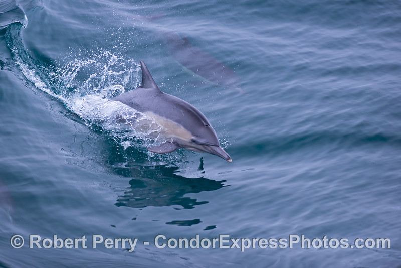 An agile common dolphin (<em>Delphinus capensis</em>) leaps out of a glassy open ocean wave.