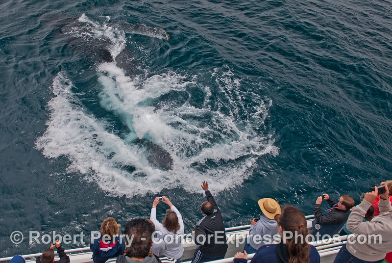 Image 2 of 2:  A giant humpback whale (<em>Megaptera novaeangliae</em>) sweeps its mighty tail in front of its fans.