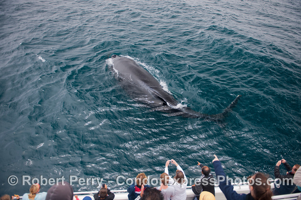 Image 1 of 2:  A friendly humpback whale (<em>Megaptera novaeangliae</em>) sweeps its tail to the side in a show of strength.