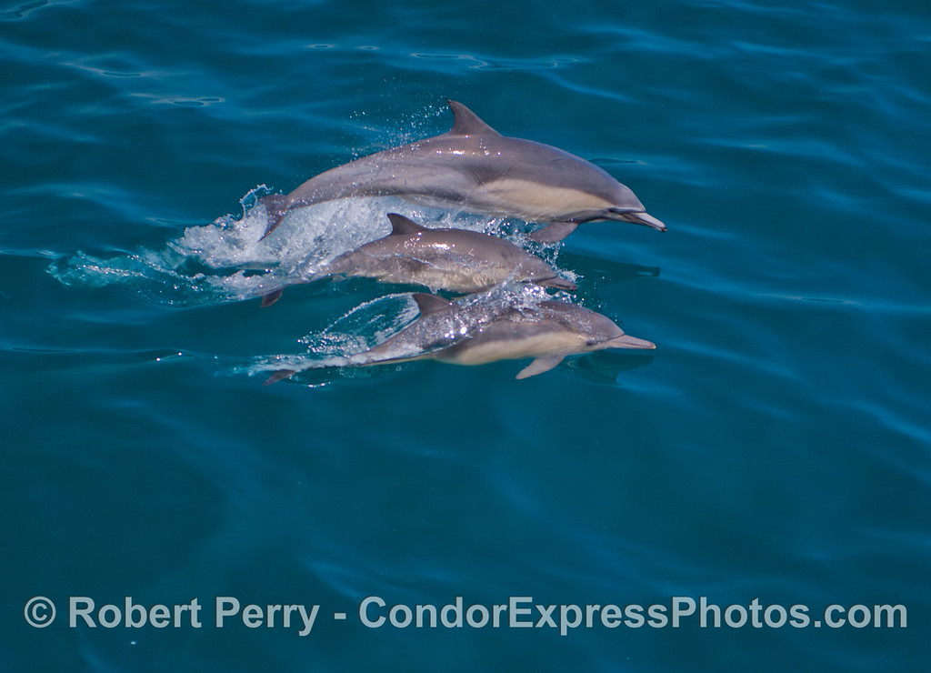 A trio of common dolphins (<em>Delphinus capensis</em>) with a juvenile in the middle.