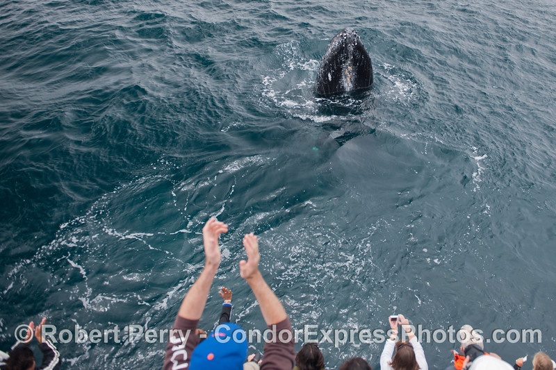 A round of applause for this friendly and spy hopping humpback whale (<em>Megaptera novaeangliae</em>) !