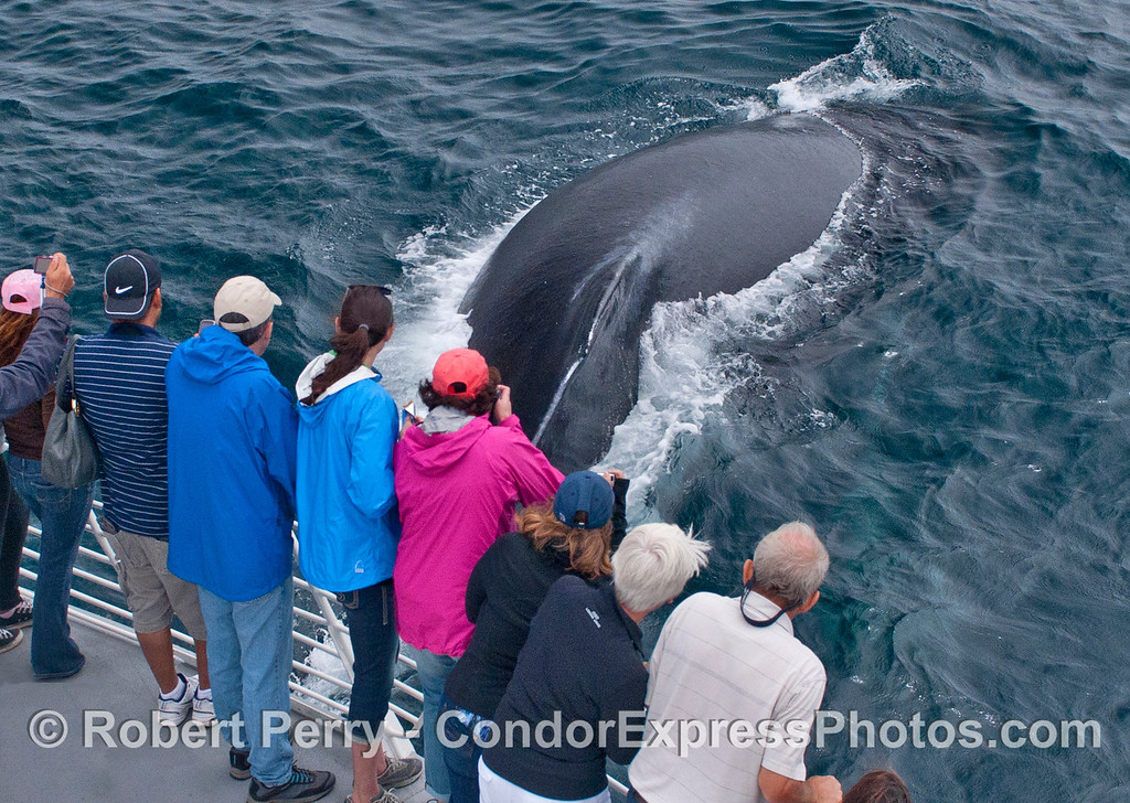 Here we see a humpback whale (<em>Megaptera novaeangliae</em>) surfacing from beneath the Condor Express.