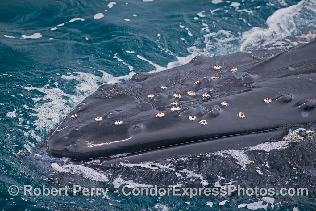 Extreme close up -  humpback whale (<em>Megaptera novaeangliae</em>) - left side of head and mouth.