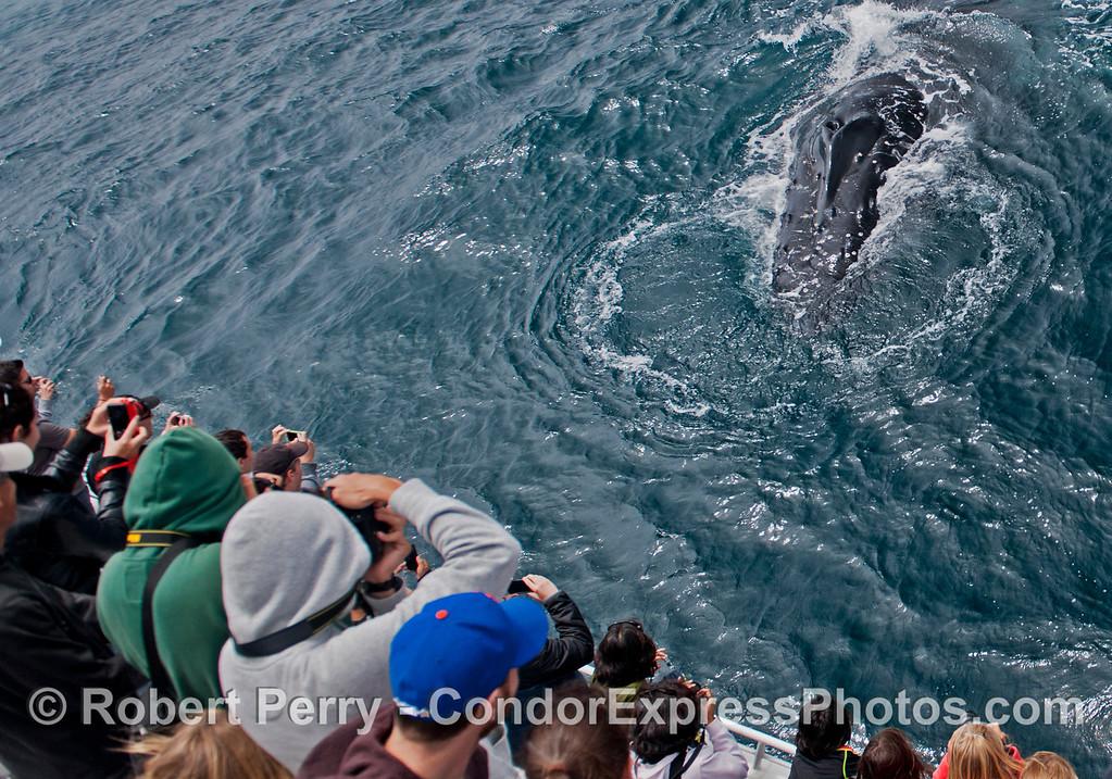 Eye to eye with a very friendly humpback whale (<em>Megaptera novaeangliae</em>).