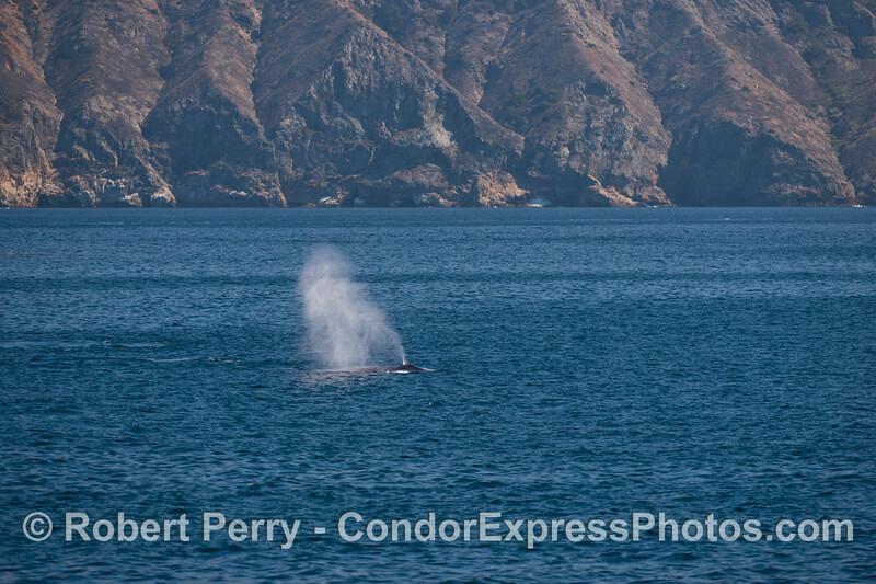 A blue whale (<em>Balaenoptera musculus</em>) at Santa Cruz Island.