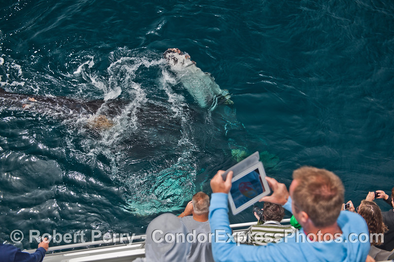 Image 2 of 2:  an extremely friendly humpback whale (<em>Megaptera novaeangliae</em>) rolls completely upside down as it comes within touching distance of the Condor Express.