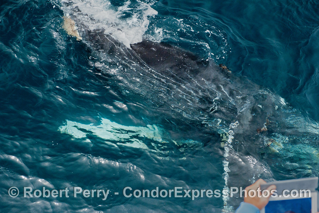 Image 1 of 2:  an extremely friendly humpback whale (<em>Megaptera novaeangliae</em>) rolls completely upside down as it comes within touching distance of the Condor Express.