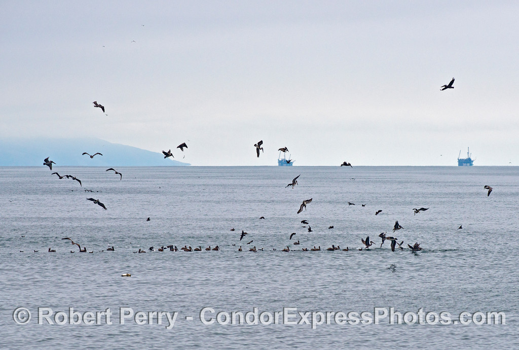 A sea bird feeding frenzy on an oceanic hot spot.  Brown pelicans (Pelecanus occidentalis) can be seen crash diving for bait fish.