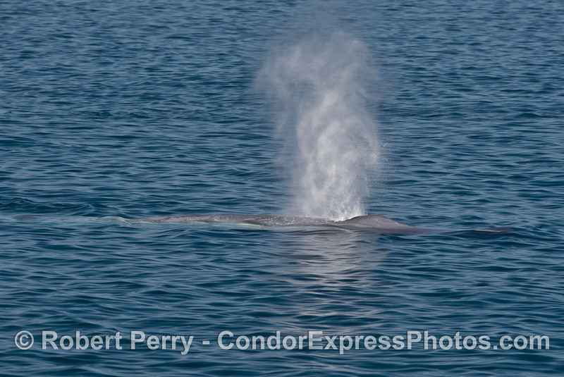 A blue whale (<em>Balaenoptera musculus</em>) spouts up in the bright afternoon sunlight.