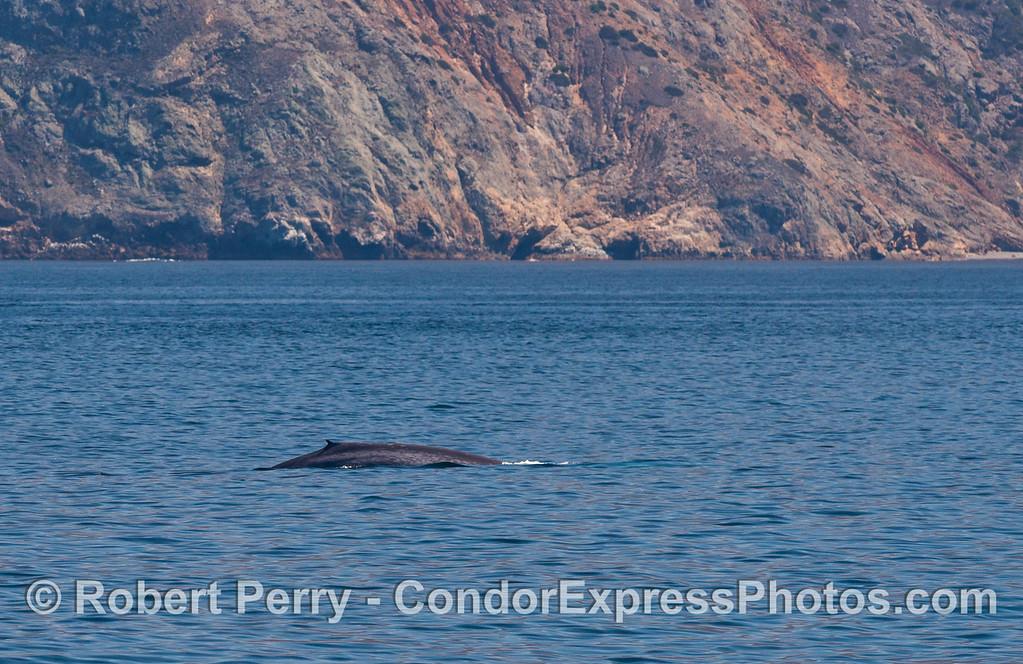 A blue whale (<em>Balaenoptera musculus</em>) cruises along the north face of Santa Cruz Island.