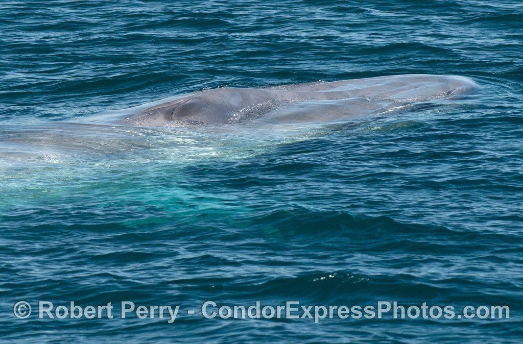 The bright blue color of a blue whale (<em>Balaenoptera musculus</em>) seen just beneath the ocean surface.