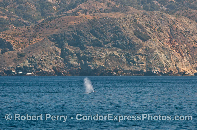 The afternoon sunlight highlights the very tall spout of a giant blue whale (<em>Balaenoptera musculus</em>) at Santa Cruz Island.