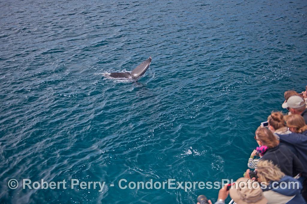 A humpback whale (<em>Megaptera novaeangliae</em>) pays a friendly visit to the Condor Express.