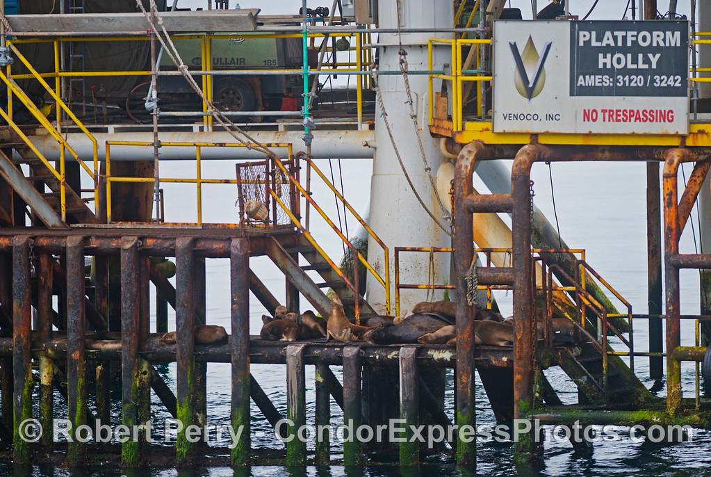 California sea lions (<em>Zalophus californianus</em>) enjoy a great resting spot on the landing deck of Platform Holly.