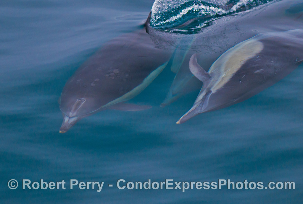 Three common dolphins (<em>Delphinus capensis</em>).