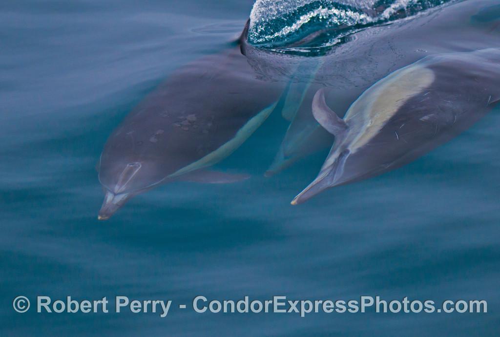 Three common dolphins (<em>Delphinus capensis</em>).