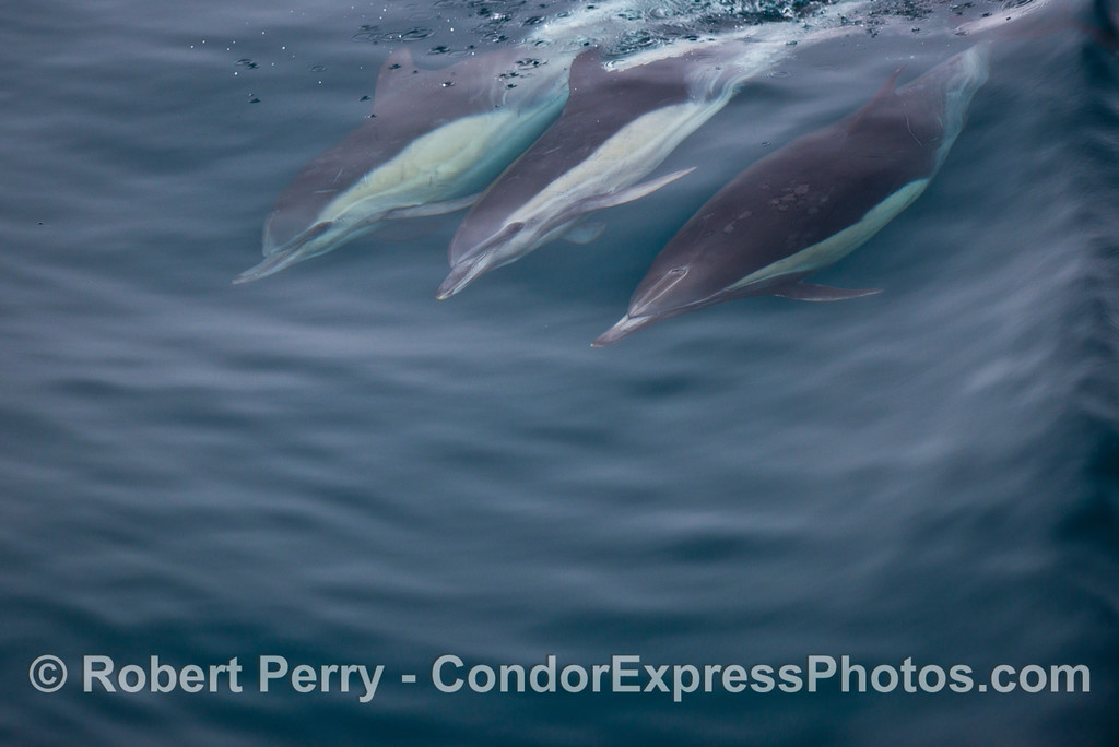 Three surfing common dolphins (<em>Delphinus capensis</em>).