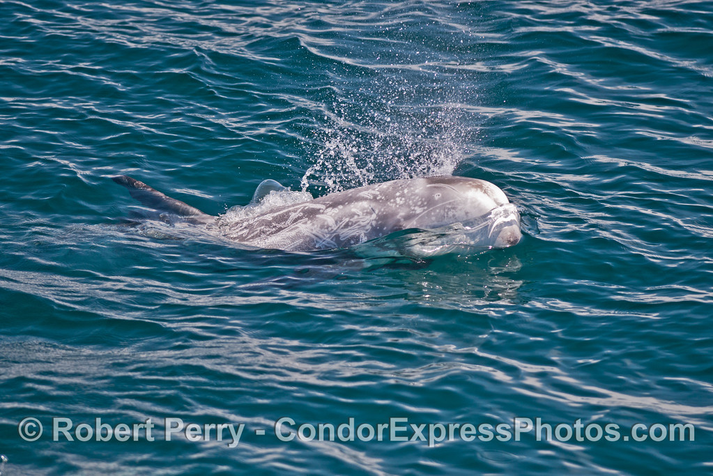 A Risso's dolphin (<em>Grampus griseus</em>) comes to the surface and spouts.