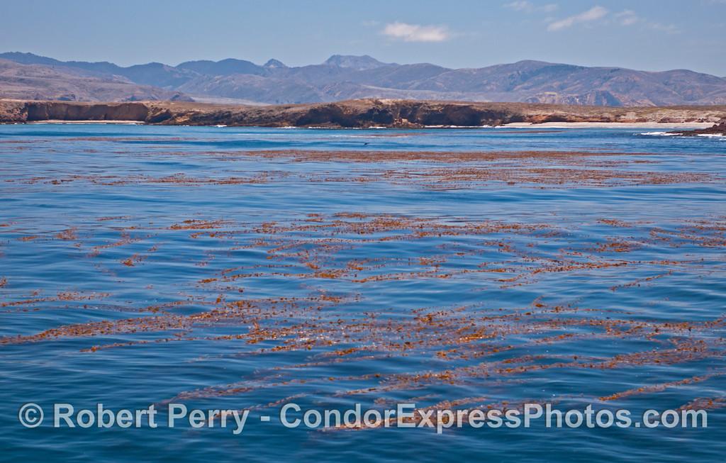 The extensive luxurious giant kelp (<em>Macrocystis pyrifera</em>) forest at Fraser Point, Santa Cruz Island