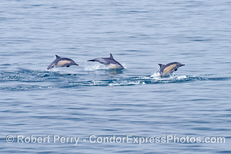 Three common dolphins (<em>Delphinus capensis</em>) leap one after the other.