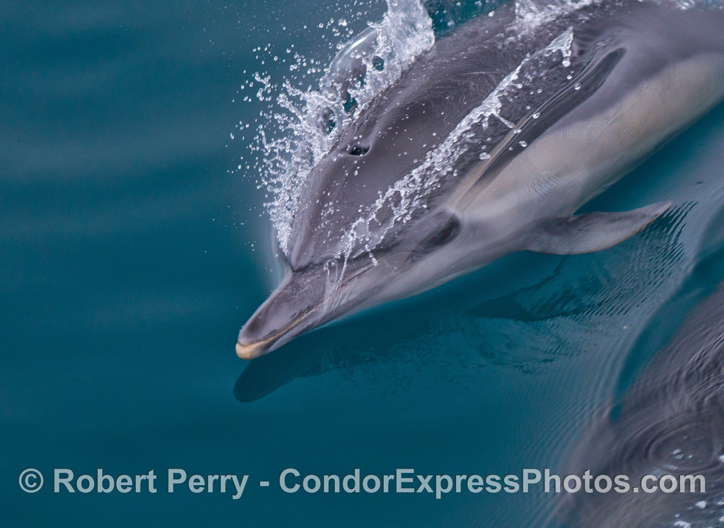 A very close look at the head and snout of a speeding common dolphin (<em>Delphinus capensis</em>).