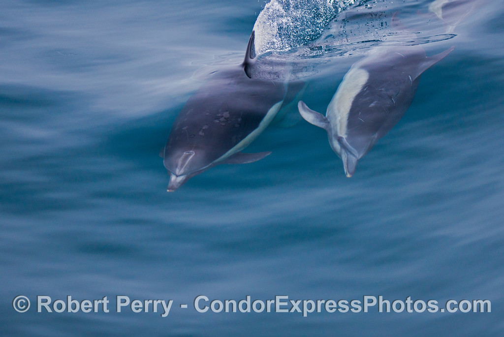 Two common dolphins (<em>Delphinus capensis</em>) cavort.