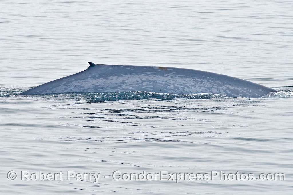 The right flank and tiny dorsal fin of a blue whale (<em>Balaenoptera musculus</em>).